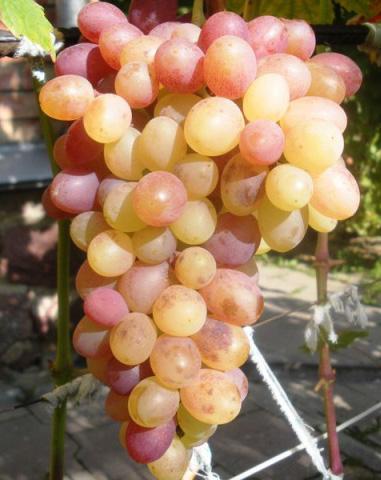 Гроздь винограда Тасон