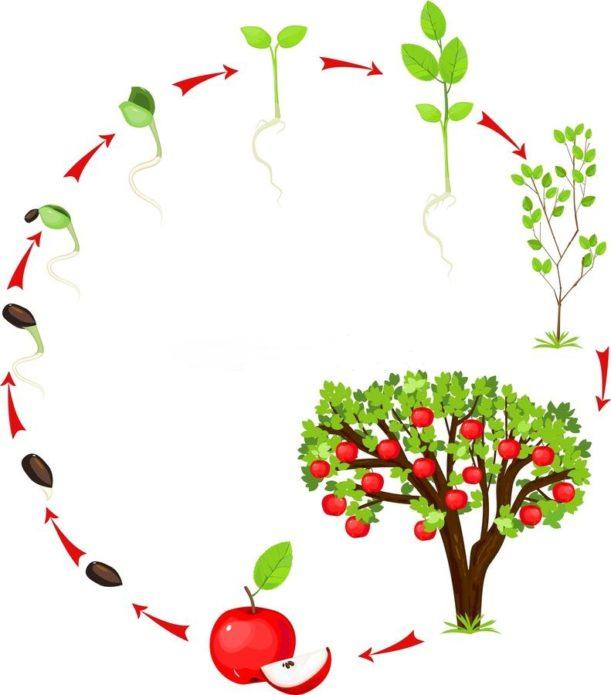 Жизненный цикл яблони