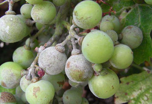 Виноград, поражённый грибком Оидиумом