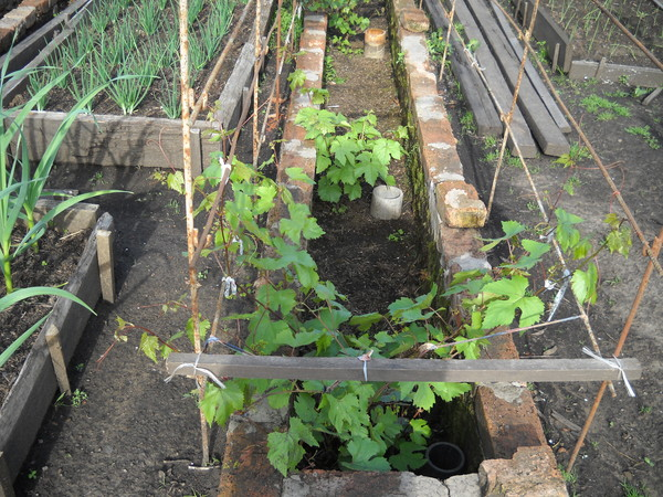 Выращивание винограда в траншее
