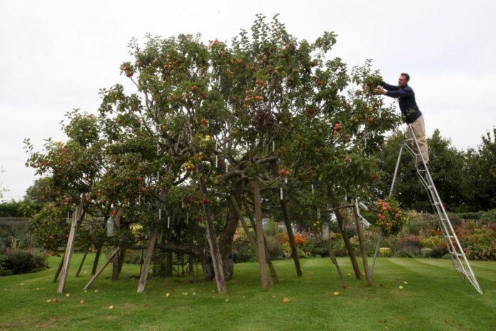 Дерево с подпорками под ветки