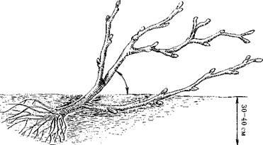 Высаженное под наклоном дерево