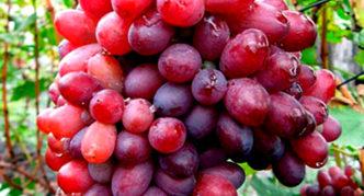 Виноград сорта Кубаттик
