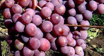 Виноград сорта Новый русский