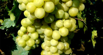 Виноград сорта Русвен