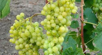 Виноград сорта Жемчуг Саба