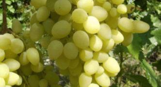Виноград сорта Долгожданный