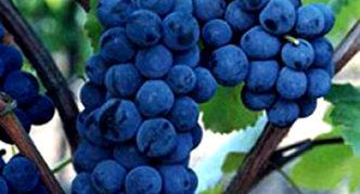 Виноград сорта Зилга
