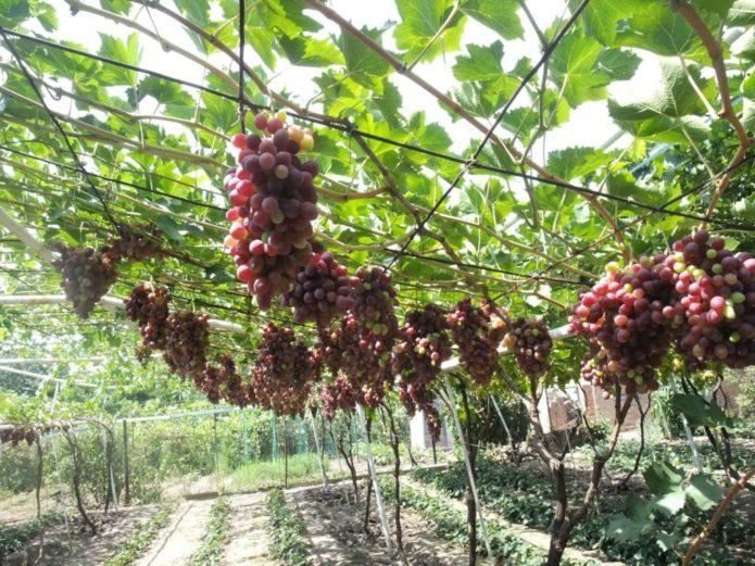Арка из винограда