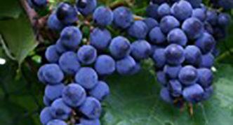 Грозди винограда Галия