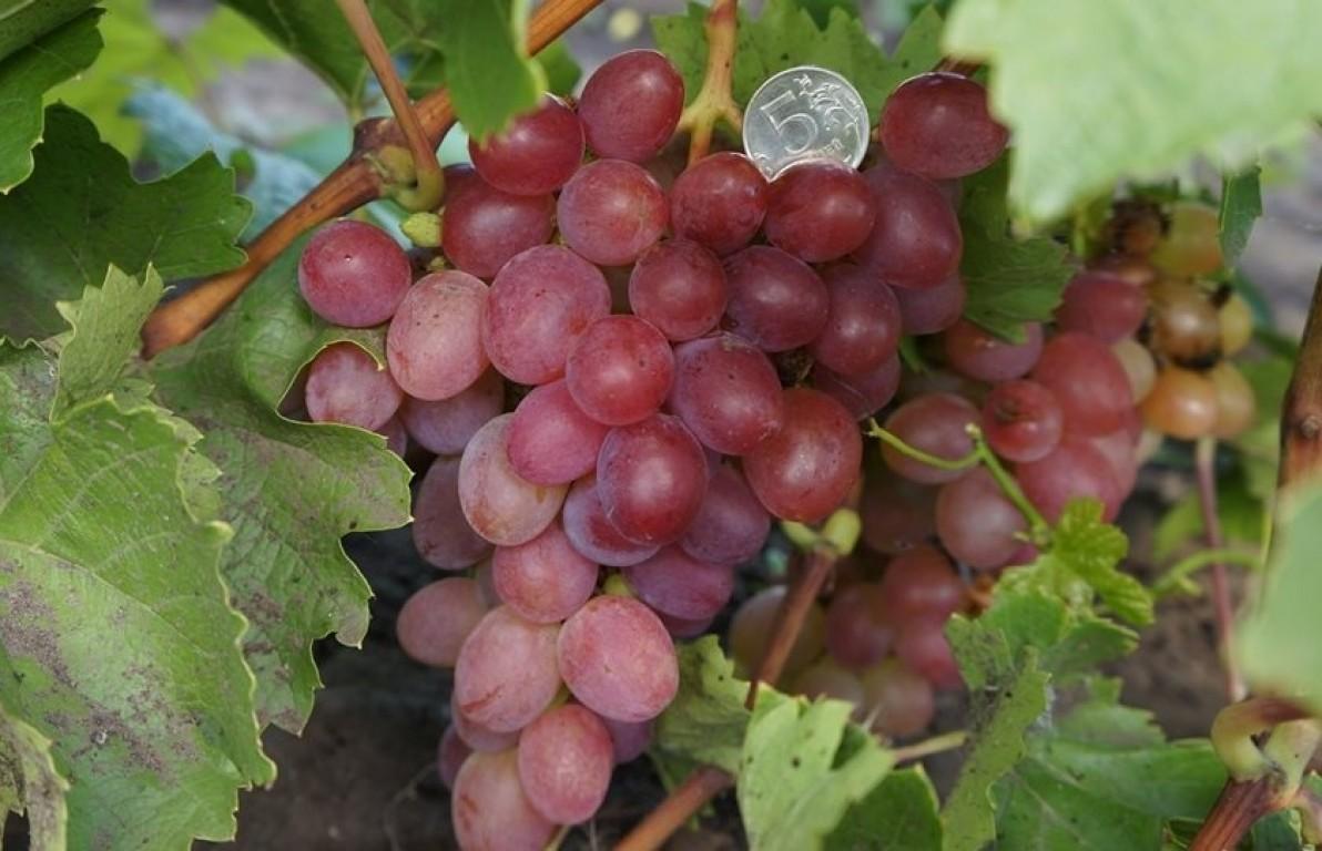 Виноград Азалия: история выведения, описание и характеристики сорта