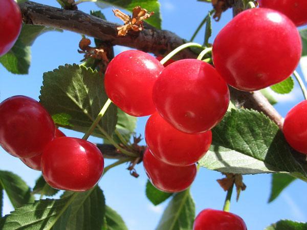 Сорт вишни Аморель розовая