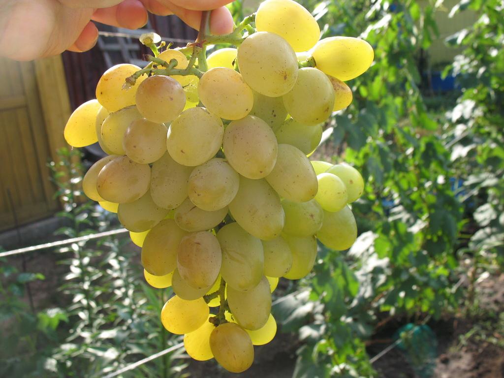 виноград сорт долгожданный