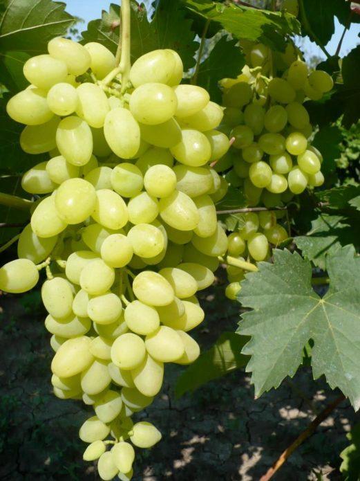 Гроздь винограда Долгожданный