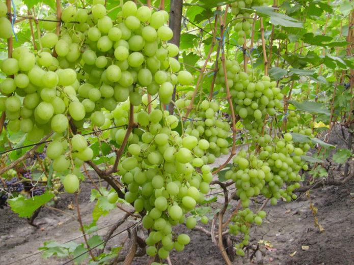 Куст винограда Талисман