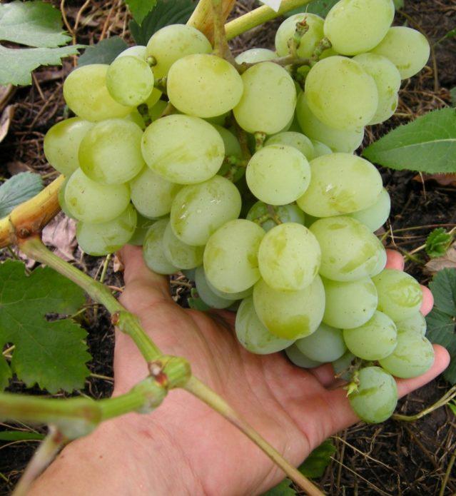 Гроздь винограда Талисман