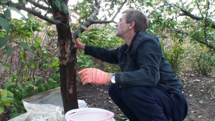 Уход за стволом вишни