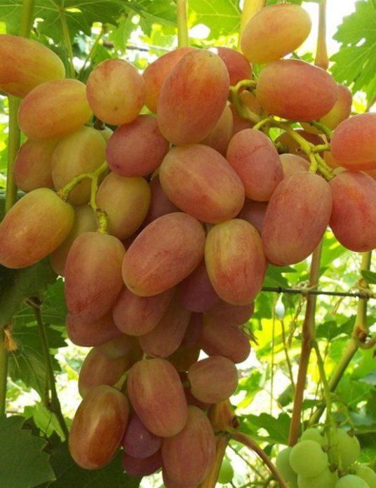 Гроздь винограда Сенсация
