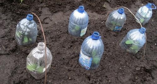 Рассада капуста под бутылками