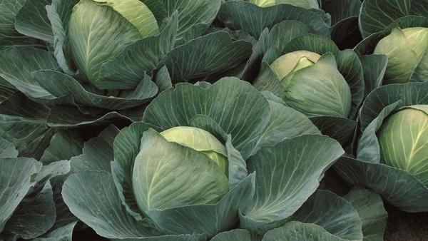 Дружный урожай капусты Атрия