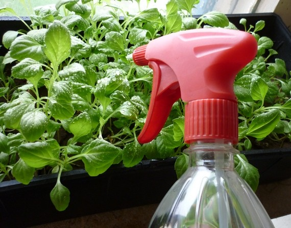 Удобрительный полив рассады капусты