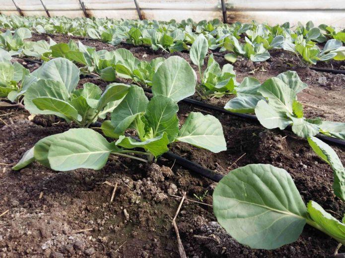 Капельное орошение капусты