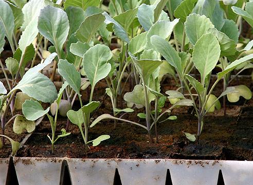 Выращивание рассады капусты в отдельных ёмкостях