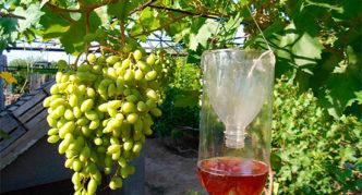 Ловушка от ос для защиты винограда