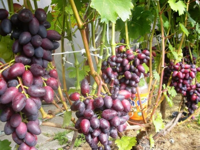 Куст винограда Красотка