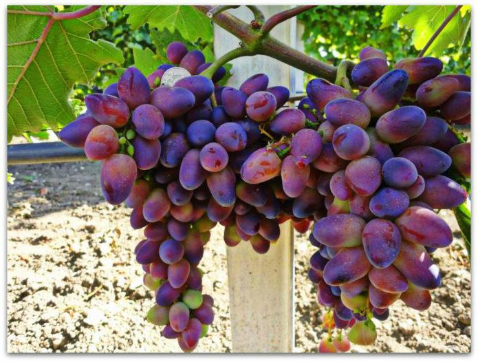 Грозди винограда Красотка
