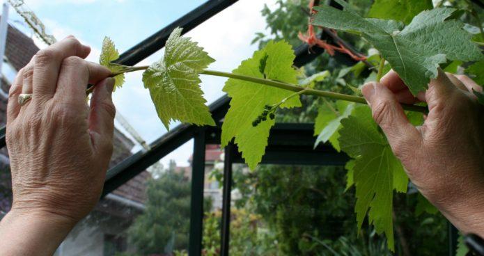 Зелёные операции на винограде