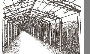 Арочная формовка винограда
