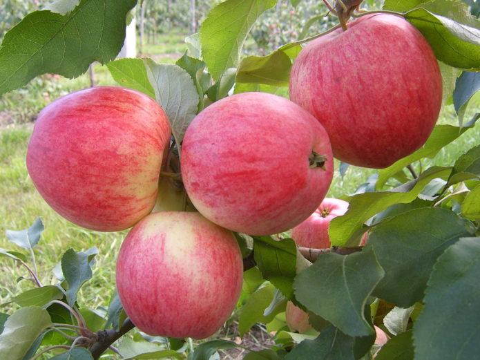 Сорт яблок Мелба