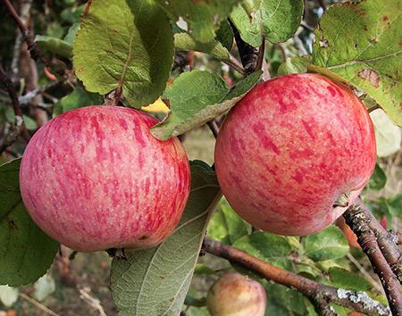 Сорт яблок Осеннее полосатое