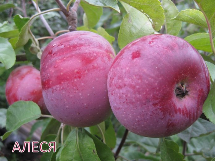 Сорт яблок Алеся