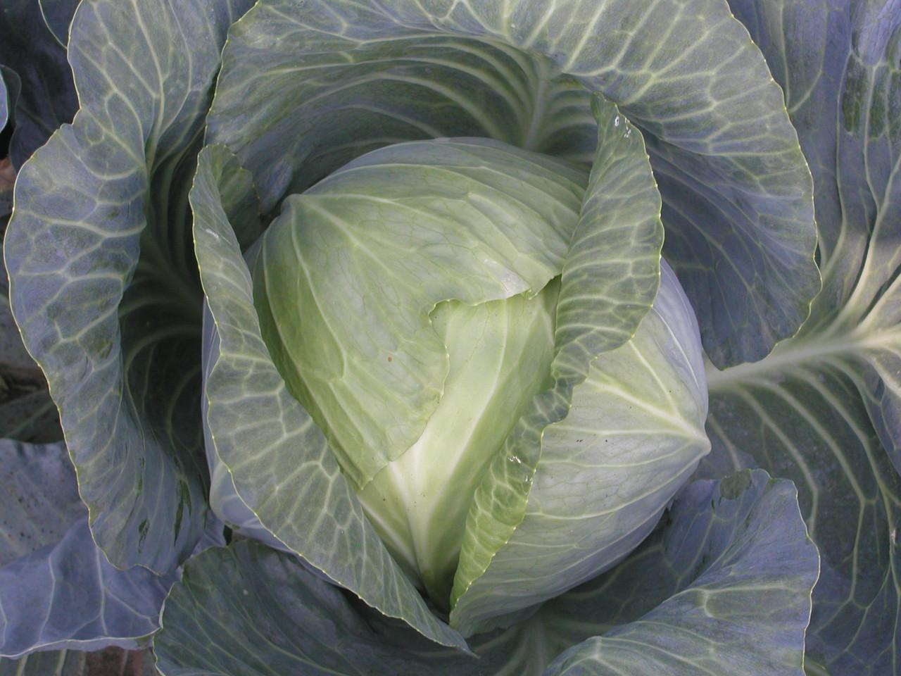 Белокочанная капуста Атрия – высокоурожайный голландский гибрид