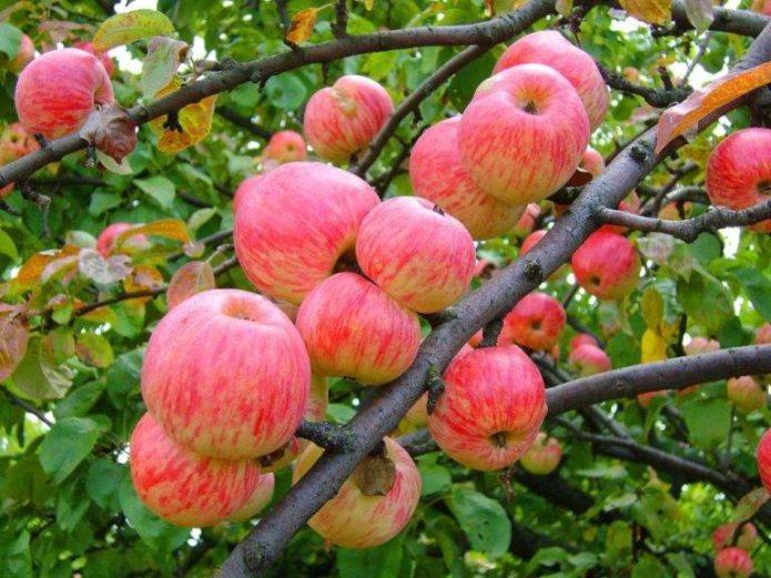 Летний сорт яблок Мельба
