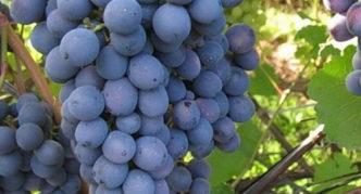 Виноград Агат донецкий