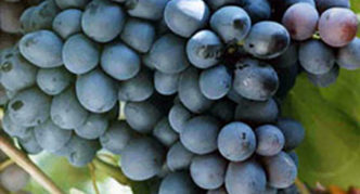 Виноград Заря севера