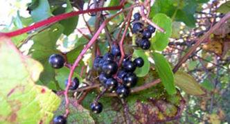 Виноград амурский дикий