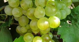 Виноград Галан
