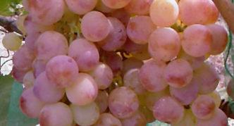 Виноград Нимранг