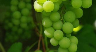 Виноград Гетеш