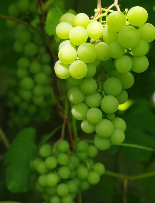 сорт винограда юодупе фото шум сливается