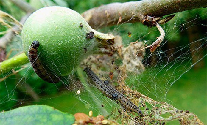 Гусеницы яблонной моли