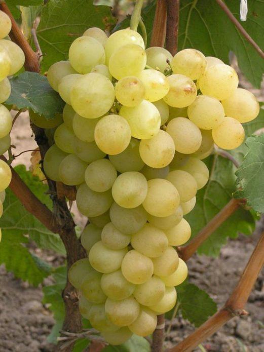Виноград Плевен описание сорта, фото, отзывы