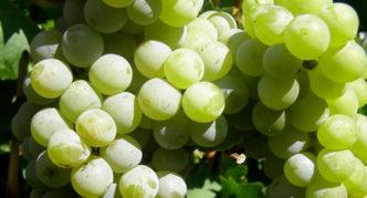 Виноград сорта Любава