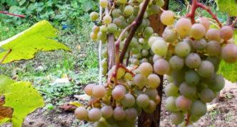 Виноград сорта Московский устойчивый