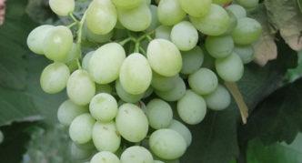 Виноград сорта Коктейль