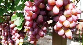Виноград сорта Люси красная